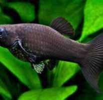 С какими рыбками можно держать гуппи