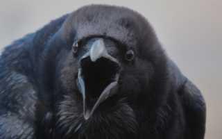 Вороны птицы википедия