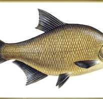 Лещ рыба википедия