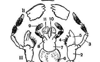 Грызущий ротовой аппарат таракана