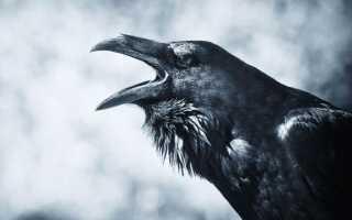 Большой черный ворон