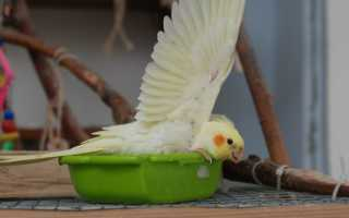 Корелла попугай как купать