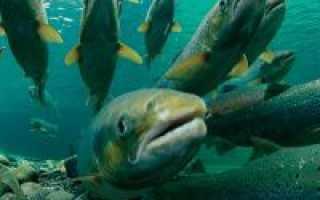 Разведение лососевых рыб