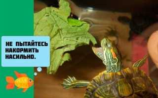 Красноухая черепаха вялая и спит