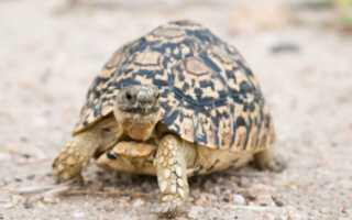 Сколько надо кормить сухопутную черепаху