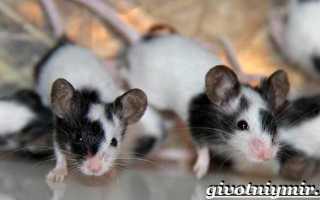 Мыши в домашних условиях
