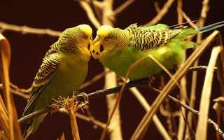 Волнистые попугаи зеленого цвета