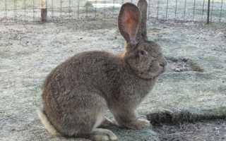 Содержание кроликов породы фландр