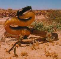 Ядовитая австралийская змея 6