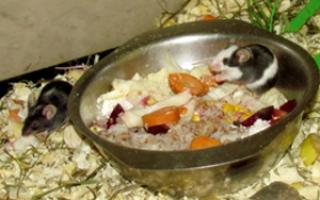 Чем кормить мышку