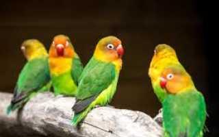 Попугаи неразлучники фото цена