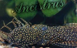 Аквариумные рыбки анциструс фото и описание
