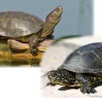Где живут черепахи в россии