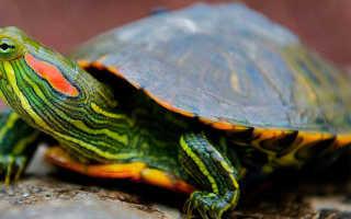 Морские черепахи как содержать