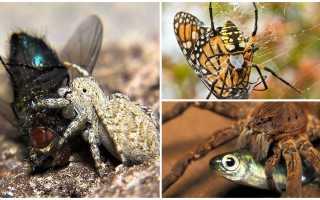 Как пауки едят мух