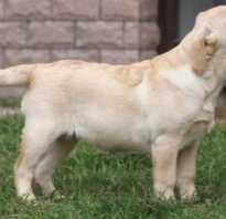 Лабрадор 4 месяца вес