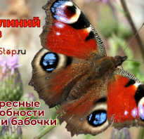 Как зимуют бабочки