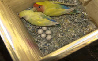 Попугай корелла размножение в домашних условиях