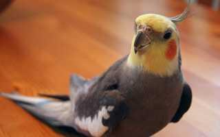 Лакомство для попугая корелла
