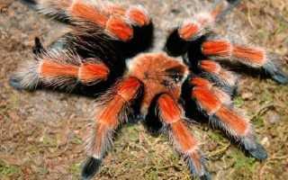 Где водятся пауки тарантулы