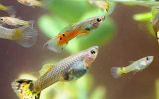 Как размножаются аквариумные рыбки гуппи