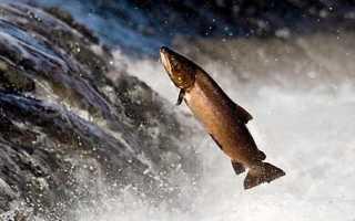 Рыба идущая на нерест против течения