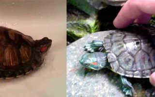 Как правильно мыть черепаху