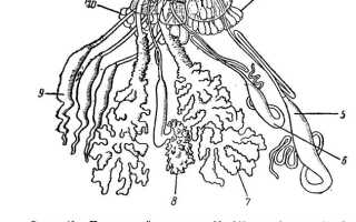 Паутинная железа паука