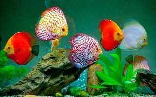 Стайные рыбки для аквариума