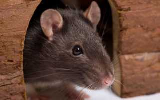 Клички для крыс мальчиков