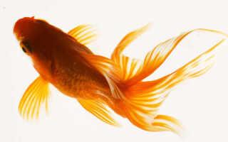 Аквариумные растения и золотые рыбки совместимость