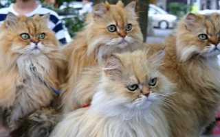 Сколько живут коты персы