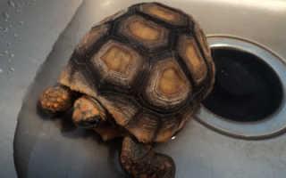 Как помыть черепаху сухопутную