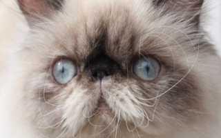 Персидский кот колор пойнт