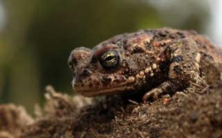 Жаба роет норы