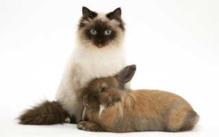 Сиамские пушистые котята фото