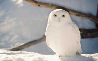 Белая сова название