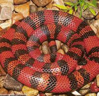 Молочная змея кэмпбелла содержание