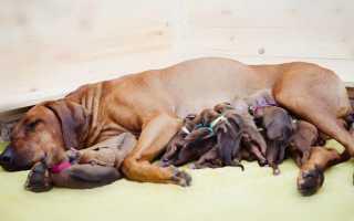 Продолжительность беременности у собак мелких пород