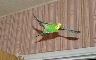 Как поймать попугая дома