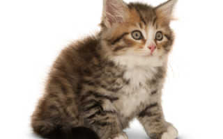 Сибирский кот характеристика породы цена