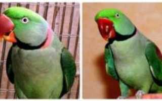 Александрийский попугай разговаривает