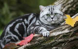 Полосатые британцы котята фото