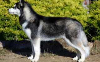 Клички для собак породы хаски