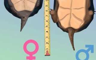 Есть ли у черепахи хвост