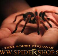 Купить паука для новичка
