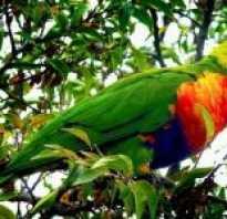Большой белый попугай название
