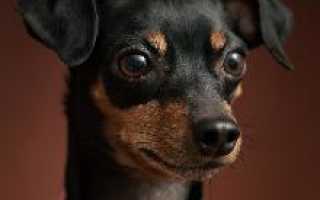 Собака королевский пинчер