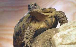 Черепаха домашняя сухопутная уход