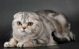 Порода кошки скоттиш фолд шотландская вислоухая